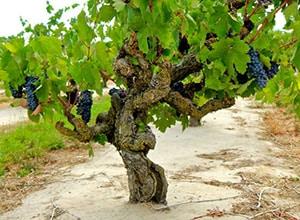 "Photo of ""old vine"" zinfandel planting with mature fruit."