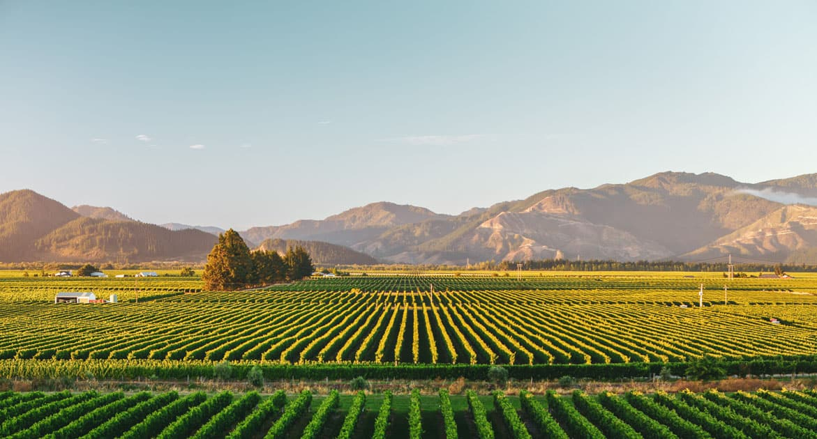 The vineyards of Whitehaven Winery in the Marlborough wine region of New Zealand.