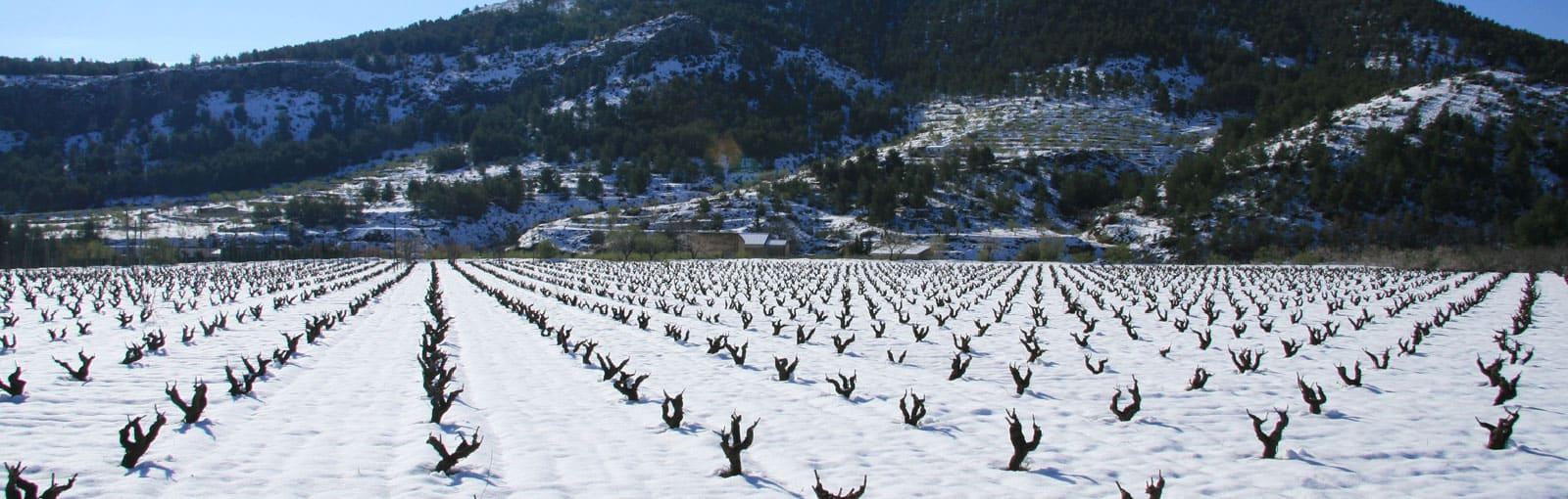 Vineyard in Bullas, Spain with a covering of snowfall.