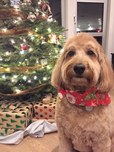Photo of Labradoodle in front of a Christmas tree looking impossibly cute!